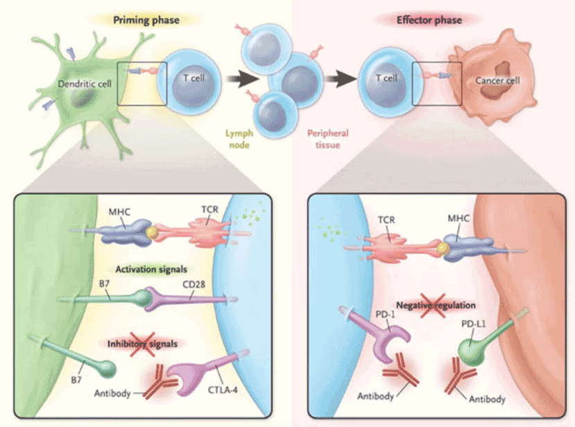 Pembrolizumab binds to the PD-1 receptor and prevents the cancer cell expressed PD-L1 from biding to PD-1 receptor and tricking the T-cell to go into deep sleep.